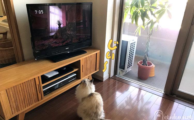 テレビ画面に映る猫と同じポーズで座るラグドール